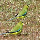 elegant parrots by Rick Playle