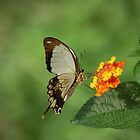 Swallowtail butterfly by FelicityB