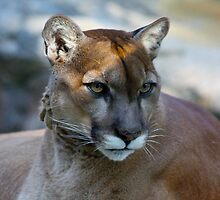 Contemplating Cougar by Chuck Zacharias