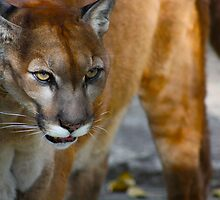 Cougar On The Prowl by Chuck Zacharias