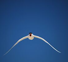 Caspian Tern in flight by Sealinator