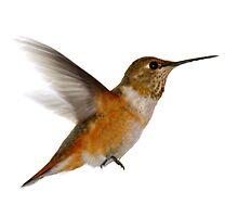 Rufous Hummingbird by Ryan Houston