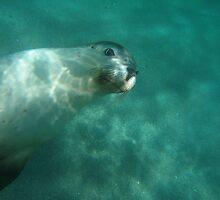 Australian sea lion in her element by Sealinator