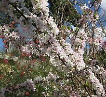 Lovely flowering prunus at my place. by Marilyn Baldey