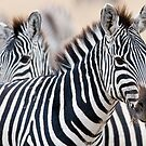 Zebras, Ngorongoro Crater by Chris Tarling