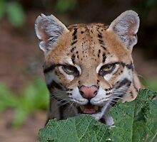 Shy Ocelot by Krys Bailey