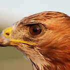 Red Tail by Janette  Dengo