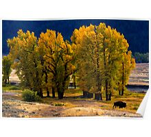 Cottonwoods and Lone Bison, Lamar Valley.Yellowstone National Park. Wyoming. USA. Poster