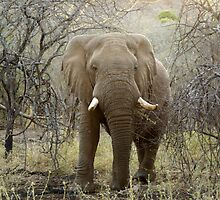 Elephant at Thanda Game Reserve KwaZulu-Natal by Sturmlechner