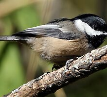 Black-Capped Chickadee Crouched by Wolf Read