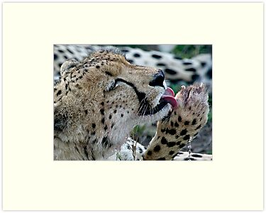 Grooming Cheetah by Michael  Moss