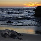 Seals, Sea, and Sunset by Andy Nguyen