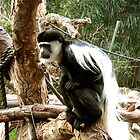 Colobus Monkey by Louise Robinson