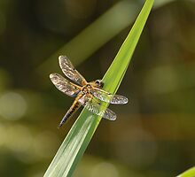 Four-spotted Chaser Dragonfly by vanStaffs