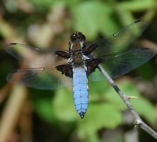 Libellula depressa - Male by vanStaffs