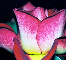 Flowers - Minature Tea Rose by Pam Moore