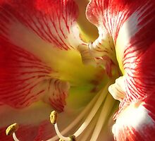 Red Rover Amaryllis by Fay270