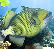 Titan triggerfish by cooperscuba