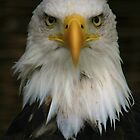 Bald Eagle by SmileyShazza