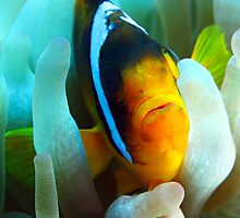Anemone Fish by cooperscuba