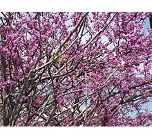 Fantastic flowers of the Judas tree. Photographic Print