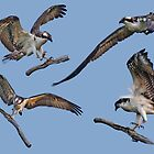 osprey collage by marianne troia