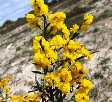 spiny wattle by jeroenvanveen