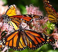 Monarchs Feeding by itsmymoment