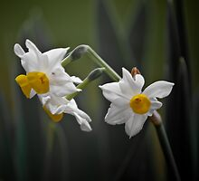 Jonquils by Lisa  Kenny