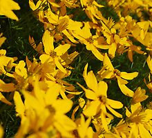 A Sea of Yellow by Claire Elford