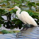Great Egret by TRussotto