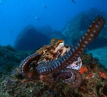 Octopus attack by Esteban  Toré
