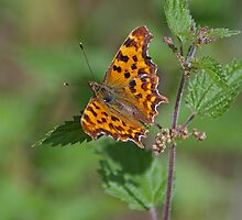 Comma Butterfly on Nettles  by Jon Lees