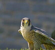 Peregrine Falcon by Jon Lees