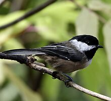 Black-Capped Chickadee (2010 Calendar May) by Wolf Read