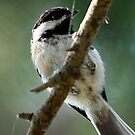 Black-Capped Chickadee (2010 Calendar Jan) by Wolf Read