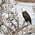 American Bald Eagle by Ron Kube