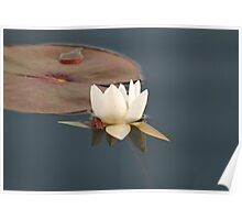 White Water Lily (Fragrant Water Lily) Poster