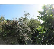 Pear Tree Photographic Print