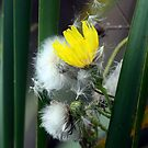 Yellow Hawkweed Blossom and Seeds Amid Cattails by Wolf Read