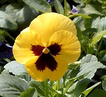 Sunshine Pansy by Barry Norton