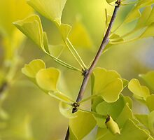 Ginkgo by Mikeinbc1