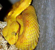 Eyelash Viper by Aussiebluey