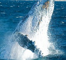 Humpback by Karen Willshaw