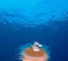 Jellyfish by Caroline Istas