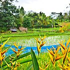 Bali Rice Paddy by John Miner