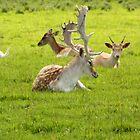 Time for a rest deer ? by Martina Fagan
