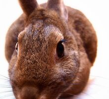 Curious brown bunny by Arve Bettum