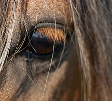 Close up of Welsh Wild Pony by iajon