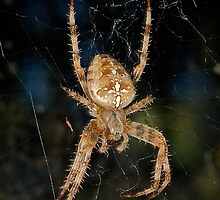 Orb weaver or common Garden spider by Jeffrey  Sinnock